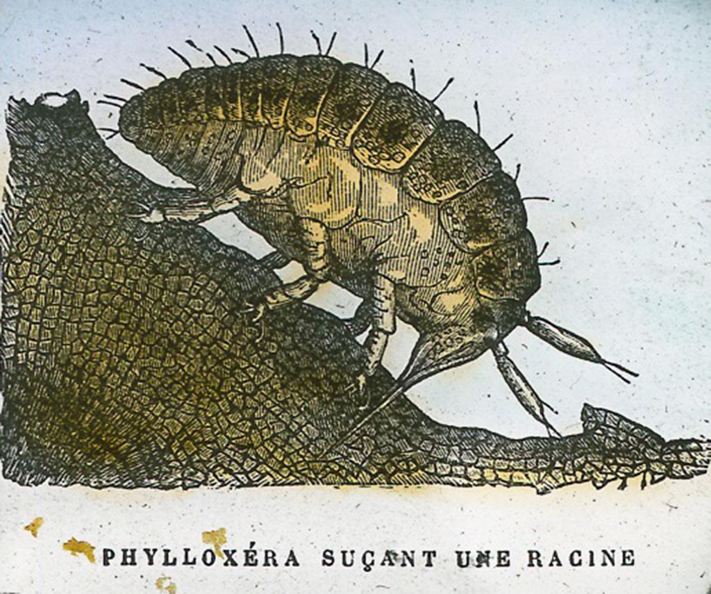 filoxera